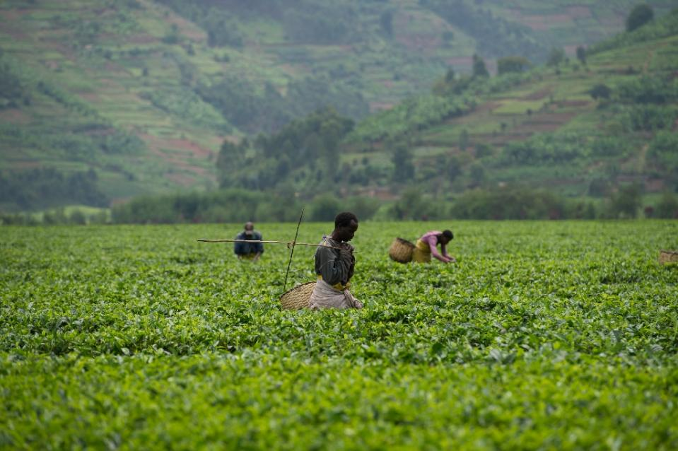 Labourers pick tea in Rwanda, which has made clear progress thanks to advances in agriculture, World Bank vice-president Makhtar Diop told AFP (AFP Photo/Phil Moore)