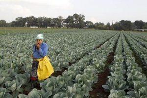 In this file April 24, 2012 photo, a worker walks between rows of vegetables at a farm in Eikenhof, south of Johannesburg. REUTERS/Siphiwe Sibeko