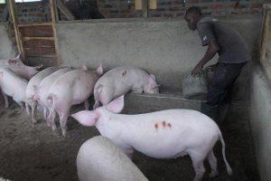 Sato+pigs+06+h.JPG