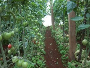 Fomundam says the soils and climate of Cameroon favor the production of a wide variety of crops, and his greenhouses are proving useful in meeting several agriculture needs