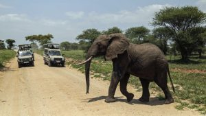 FILE - An elephant crosses a road made for Safari vehicles as tourists take photos in Tarangire National Park on the outskirts of Arusha, northern Tanzania, Jan. 16, 2015.