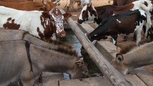 Healthy livestock drink water from a solar-powered borehole in Mathafeni village in Lupane about 600km southwest of Harare, Zimbabwe. (S. Mhofu for VOA)