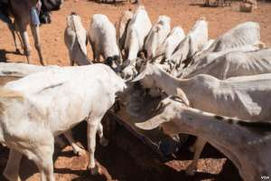 Goats with ribs showing crowd around a trough of well water in Somaliland region of Somalia, which is experiencing a devastating drought, on Feb. 9, 2017. (VOA/Jason Patinkin)