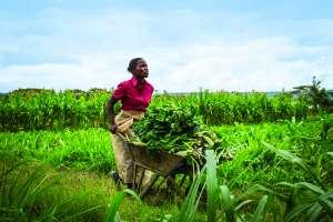 Kenyan vegetable farmer harvesting spinach with her wheelbarrow.Photo Jennifer Huxta, MasterCard Foundation