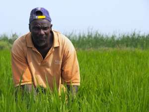 A lead farmer checks his rice field in Senegal