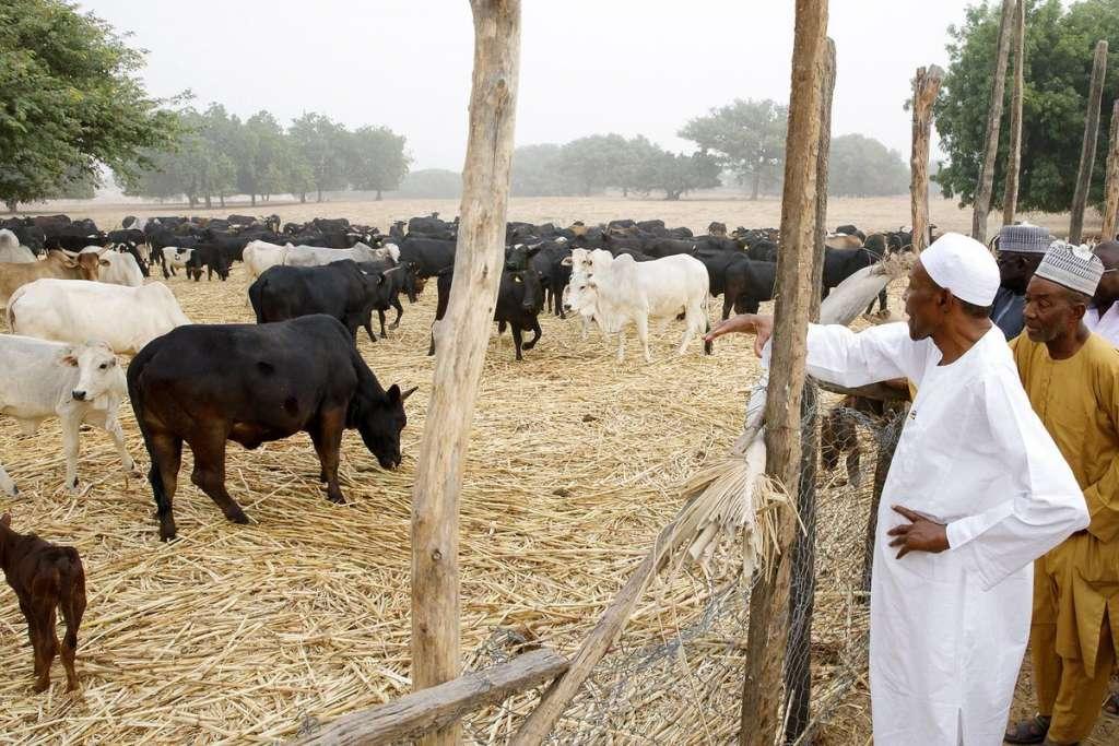 President Buhari  inspecting his farm in his hometown, Daura, Katsina state.