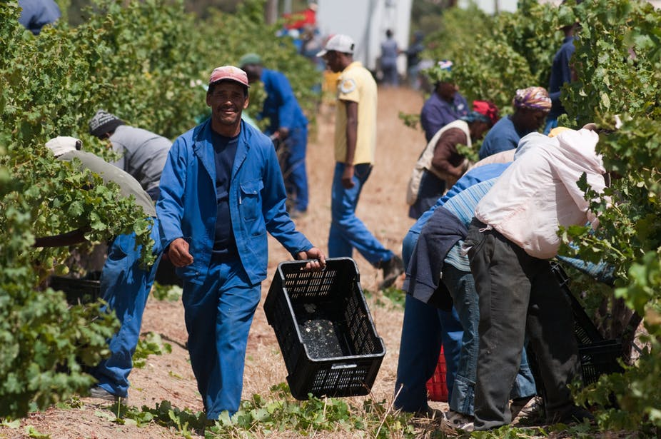 Harvest season on a wine farm in Stellenbosch, South Africa. The country is struggling with land redistribution. Shutterstock