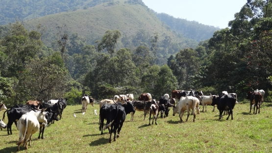 Crossbred cows in a dairy farm in Cameroon. (Photo: Mario García Podesta /IAEA)
