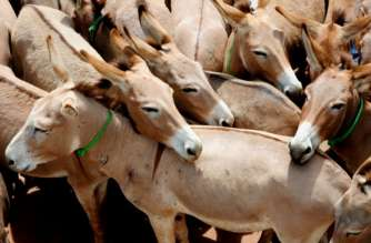 Donkey disease hits Gambia's Community