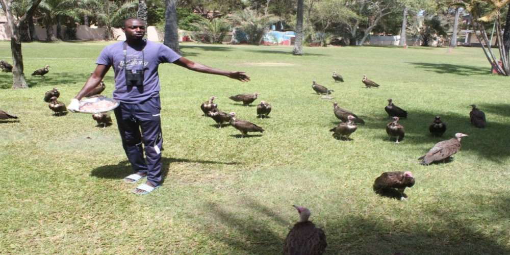 Gambia:Bird feeder says Vultures serve as environmental cleaners