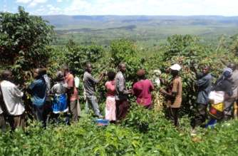 Farmers harvesting coffee in Kirehe District, Eastern Rwanda