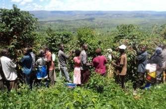 Farmers harvesting coffee in Kirehe District, Eastern Rwanda