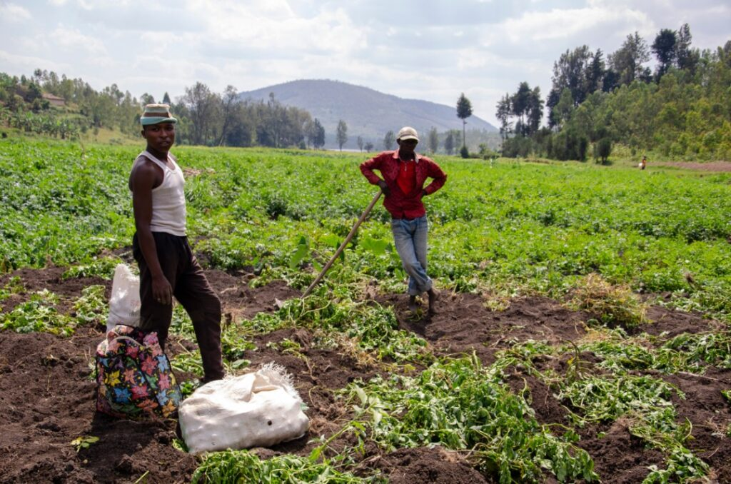Farmers harvest potatoes in Nyanza District of Southern Rwanda in July 2019